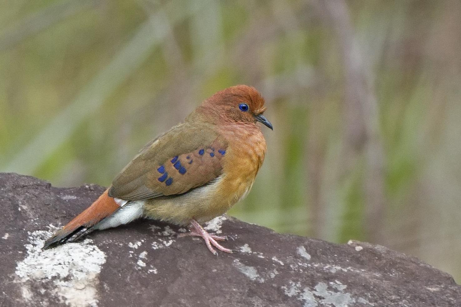 Ave brasileira considerada uma das mais raras do mundo é redescoberta 75 anos após o último registro comprovado da espécie