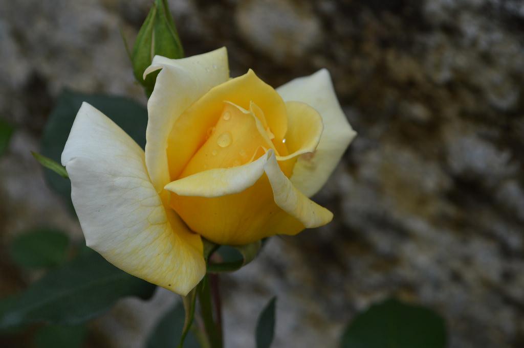 Trago esta rosa para lhe dar