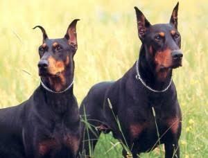 Câmara discute lei que dá prazo de 90 dias para desacorrentar cães ferozes