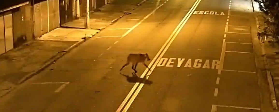 Câmeras do COI flagram animal exótico em área urbana de Jacareí
