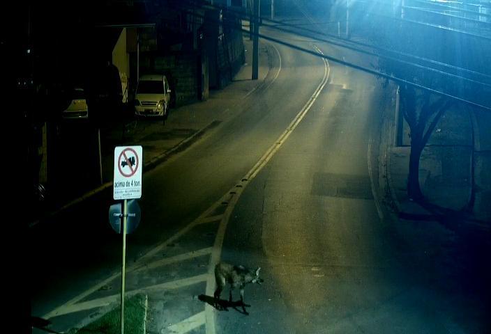 Câmeras flagram lobo-guará em avenidas de Jacareí
